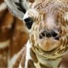 C'è del marcio in Danimarca: lo zoo di Copenaghen uccide la giraffa in eccesso