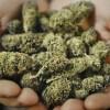 Marijuana: sale anche dal Messico un grido di libertà