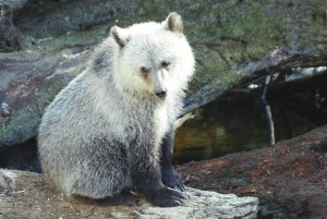 orsi ibernazione