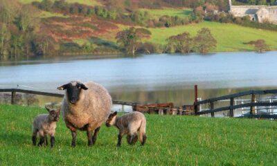 prati verdi irlanda pecore
