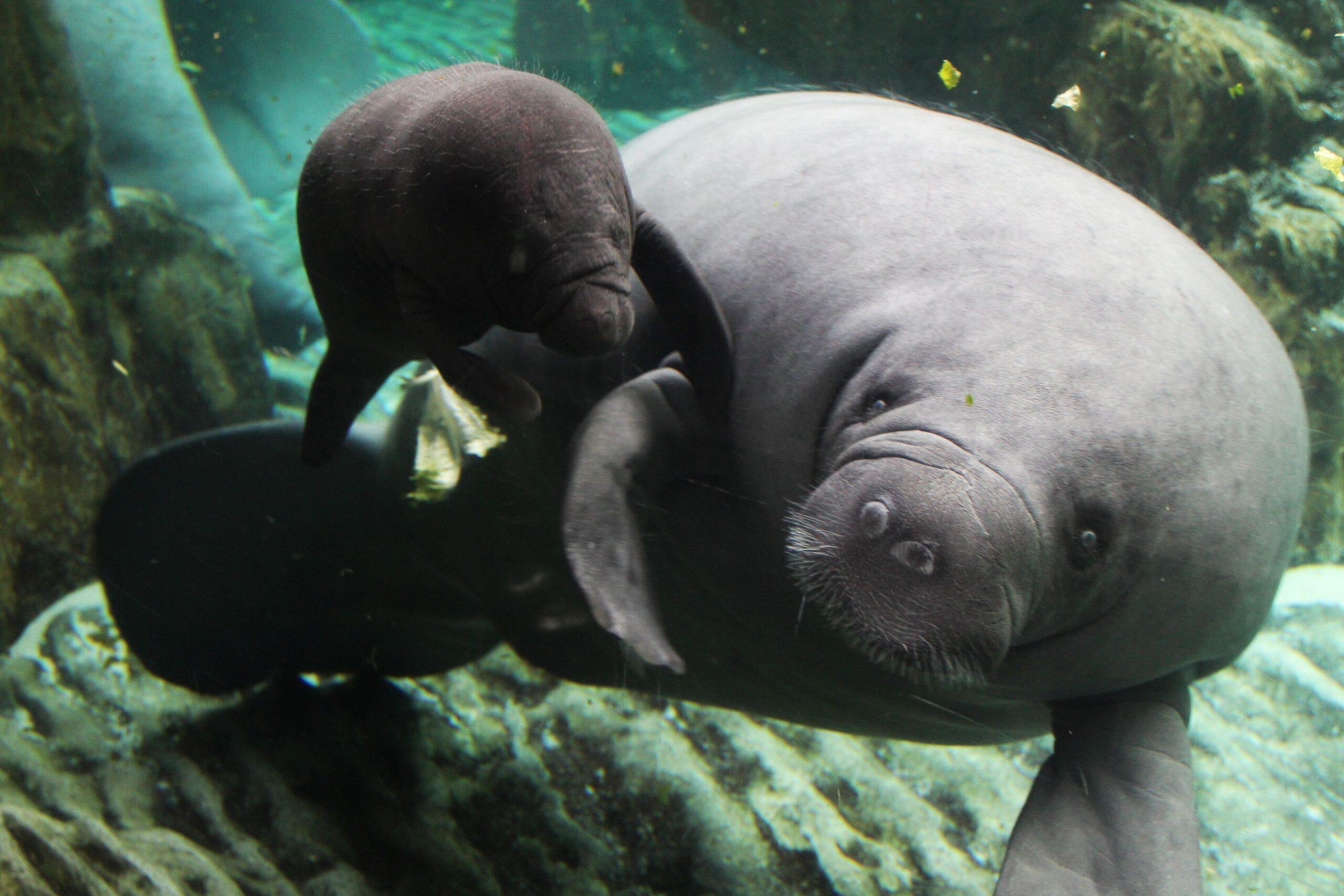 mamma Rynke e cucciolo all'Acquario di Genova