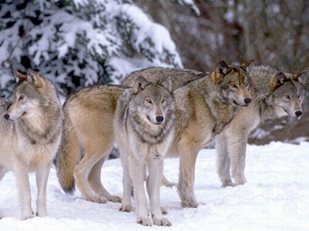 Branco di lupi